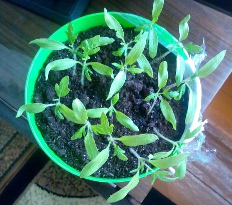 Как выращивать рассаду помидоров в домашних условиях