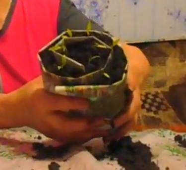 Выращивание рассады в улитке (рулонах) от начала до конца