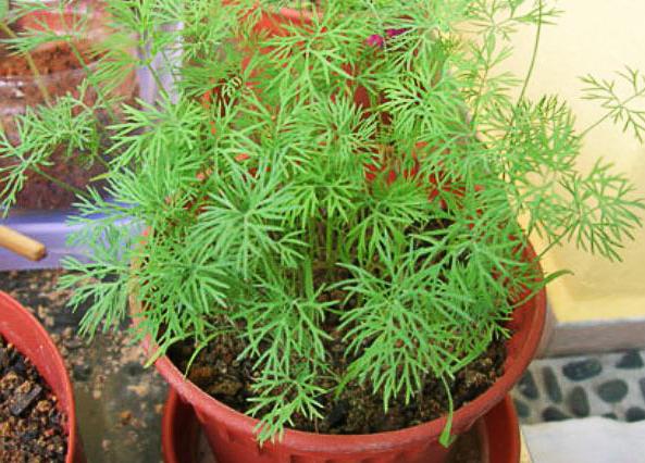 Укроп на окне выращивание зимой