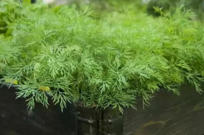 Как вырастить укроп в домашних условиях на подоконнике в горшке зимой