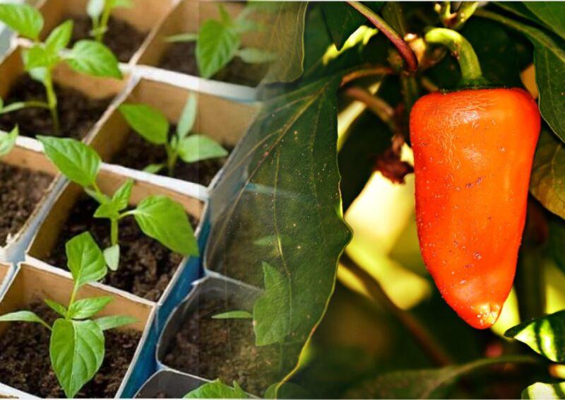Посадка перца на рассаду в 2020 году: когда сажать и как вырастить в домашних условиях